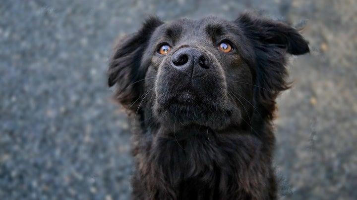 Dog, Canine, Pet, Animal, Mammal, Cocker Spaniel