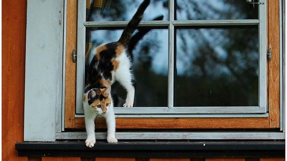 Manx, Cat, Pet, Mammal, Animal, Window