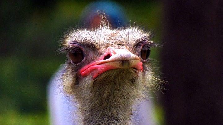 Bird, Animal, Ostrich, Beak