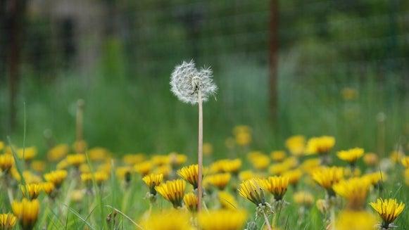Plant, Flower, Blossom, Dandelion