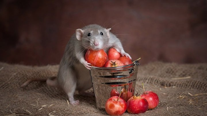 Mammal, Animal, Rat, Rodent, Plant
