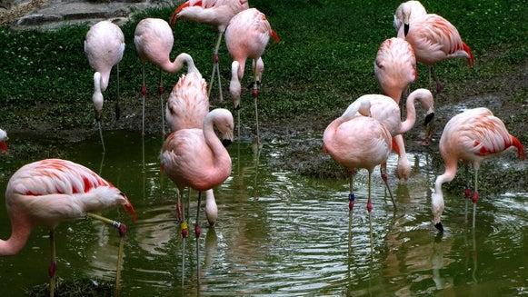Flock, Animal, Bird, Flamingo