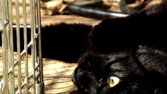 Black Cat, Cat, Pet, Animal, Mammal
