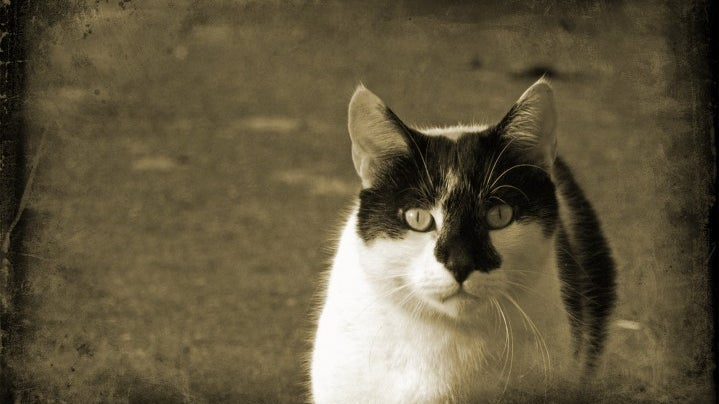 Cat, Pet, Animal, Mammal, Manx