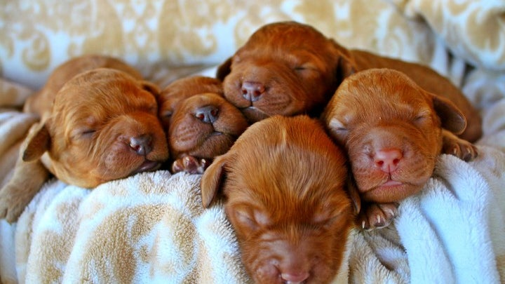 Puppy, Dog, Canine, Mammal, Pet, Animal