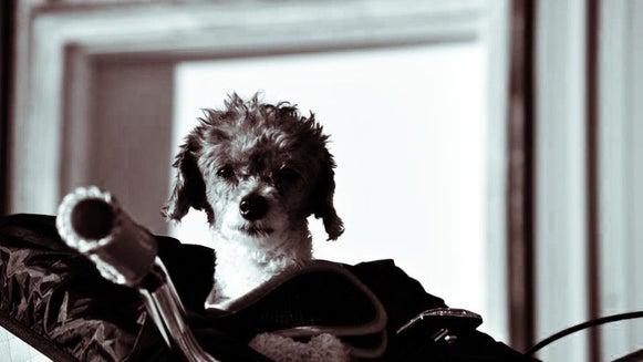 Canine, Mammal, Animal, Dog, Pet, Poodle