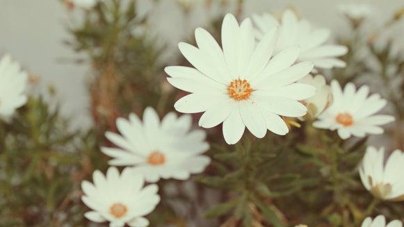 Plant, Daisy, Daisies, Flower, Blossom