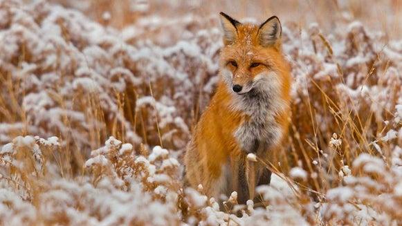 Red Fox, Fox, Wildlife, Mammal, Animal, Canine