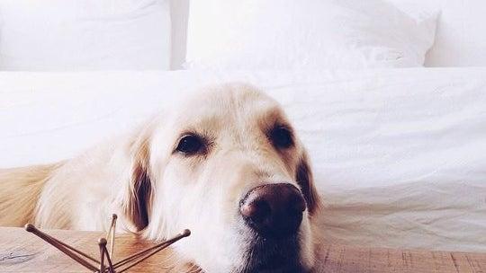 Dog, Canine, Animal, Pet, Mammal, Golden Retriever