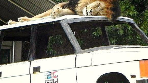 Wildlife, Animal, Mammal, Lion, Truck, Transportation