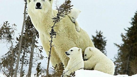Polar Bear, Bear, Mammal, Animal, Wildlife