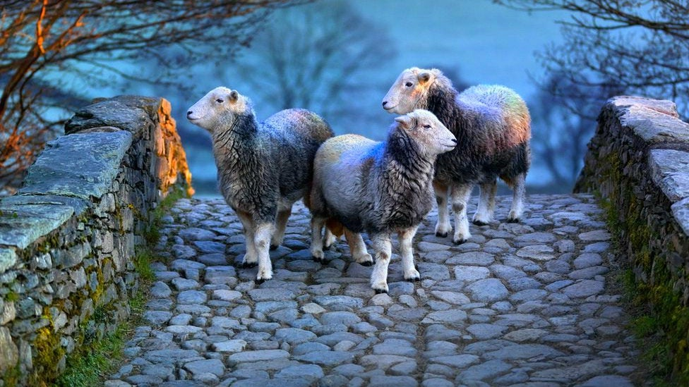 Sheep, Animal, Mammal, Walkway, Path, Sidewalk