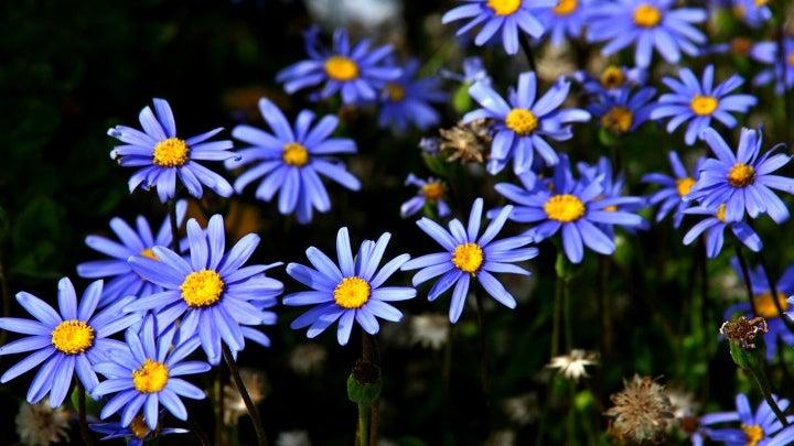 Plant, Daisy, Daisies, Flower, Blossom, Pollen