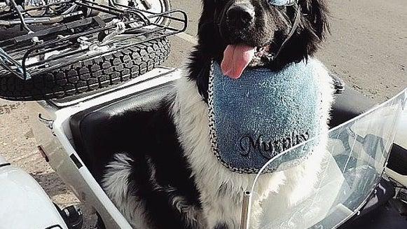 Bumper, Vehicle, Transportation, Motorcycle, Dog, Mammal