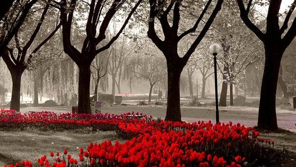 Plant, Flower, Blossom, Tulip, Tree