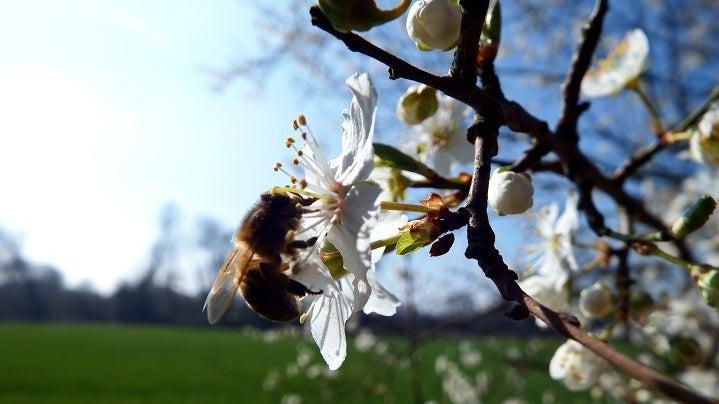 Honey Bee, Insect, Invertebrate, Animal, Bee, Plant