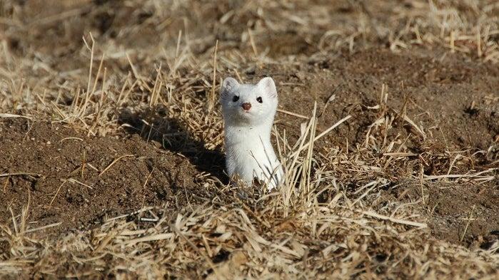 Weasel, Mammal, Wildlife, Animal, Ground, Bear