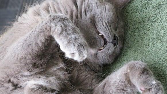 Cat, Mammal, Animal, Pet, Manx, Sleeping