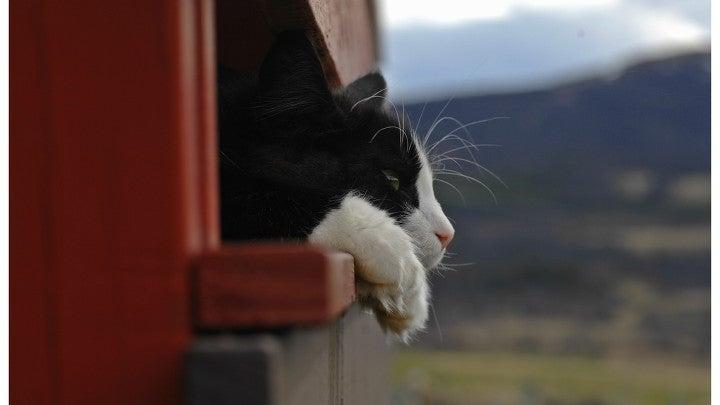 Cat, Pet, Mammal, Animal, Manx