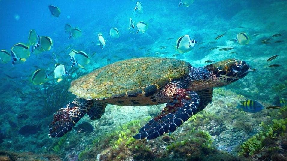 Turtle, Sea Life, Animal, Reptile, Water, Tortoise