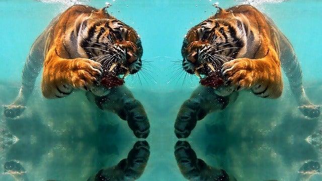 Tiger, Wildlife, Mammal, Animal