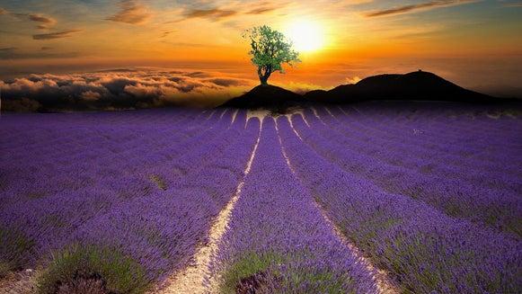 Plant, Field, Tree, Lavender