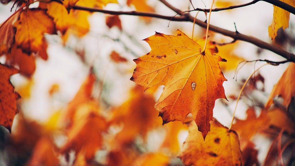 Leaf, Plant, Tree, Maple, Fungus