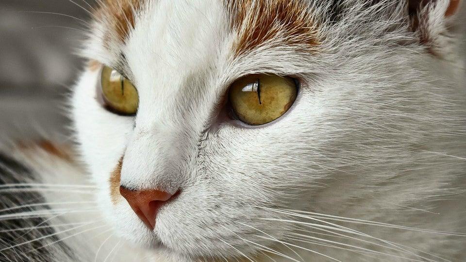 Cat, Pet, Animal, Mammal, Manx, Abyssinian