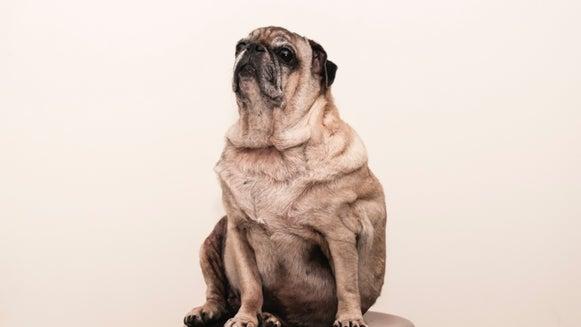 Pet, Animal, Mammal, Pug, Dog, Canine